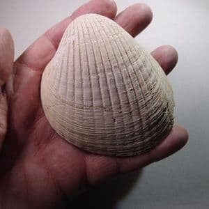 FOSSIL BIVALVE  - 45 million years old  -  France