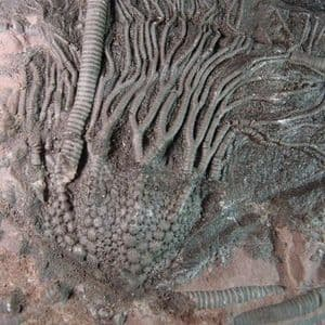 FOSSIL CRINOID - 410 million years old - Morocco
