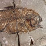 FOSSIL FISH  - 50 million years old  -  Monte Bolca, Italy