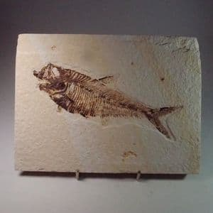 FOSSIL FISH (LARGE EXAMPLE)  -  52 million years old  -  USA