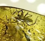 FOSSIL SPIDER IN AMBER  -  40 million years old  -  Baltic