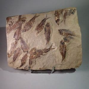 MASS MORTALITY OF FOSSIL FISH  -  52 million years old  -  Wyoming, USA