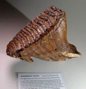 TOOTH OF A YOUNG WOOLLY MAMMOTH - about 20,000 years old -  Dredged from the floor of the North Sea