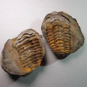 TRILOBITE PRESERVED IN A NODULE  -  450 million years old  -  Atlas Mountains, Morocco