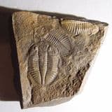 TRILOBITES  -  450 million years old  - Wales